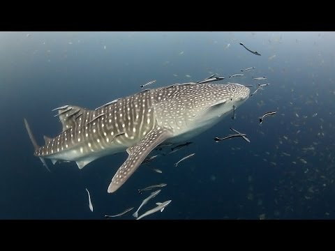 Scuba Diving With A Whale Shark - Koh Tao, Thailand