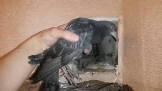 Замурованный голубь в вентиляции, пришлось ломать.