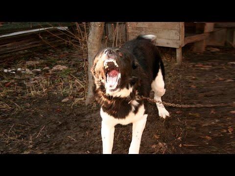 Turkmen Alabaj guarding TEST 9 - Central Asian Shepherd Dog