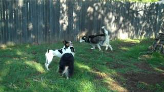 Flower Mound Dog Training | Redeeming Dogs | Rat Terrier Squirrel Chasing