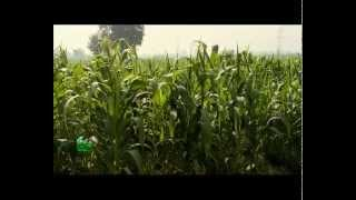 Baby corn Farming (वेबी काँर्न की खेती) In Baatein Kheti Ki - On Green TV