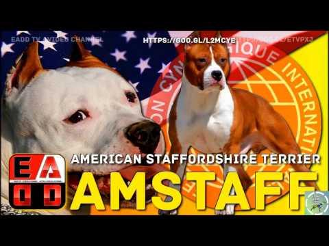 American Staffordshire Terrier - Amstaff ou AST