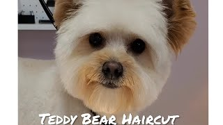 Cute Teddy Bear | Pomeranian/Poodle