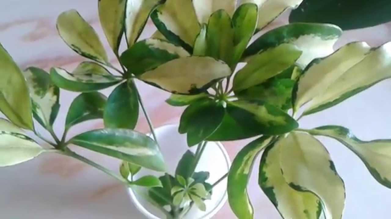 Цветок шеффлера размножение 55