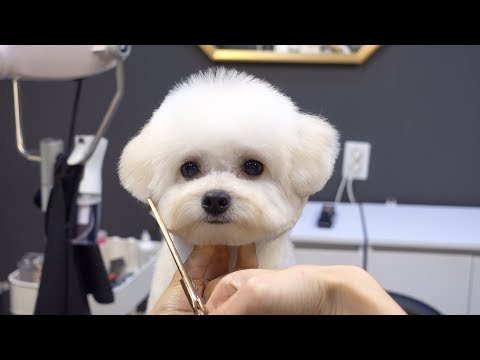푸숑 배냇 첫미용 귀툭튀 가위컷 / dog pet poodle bichon frise mixed breed first grooming