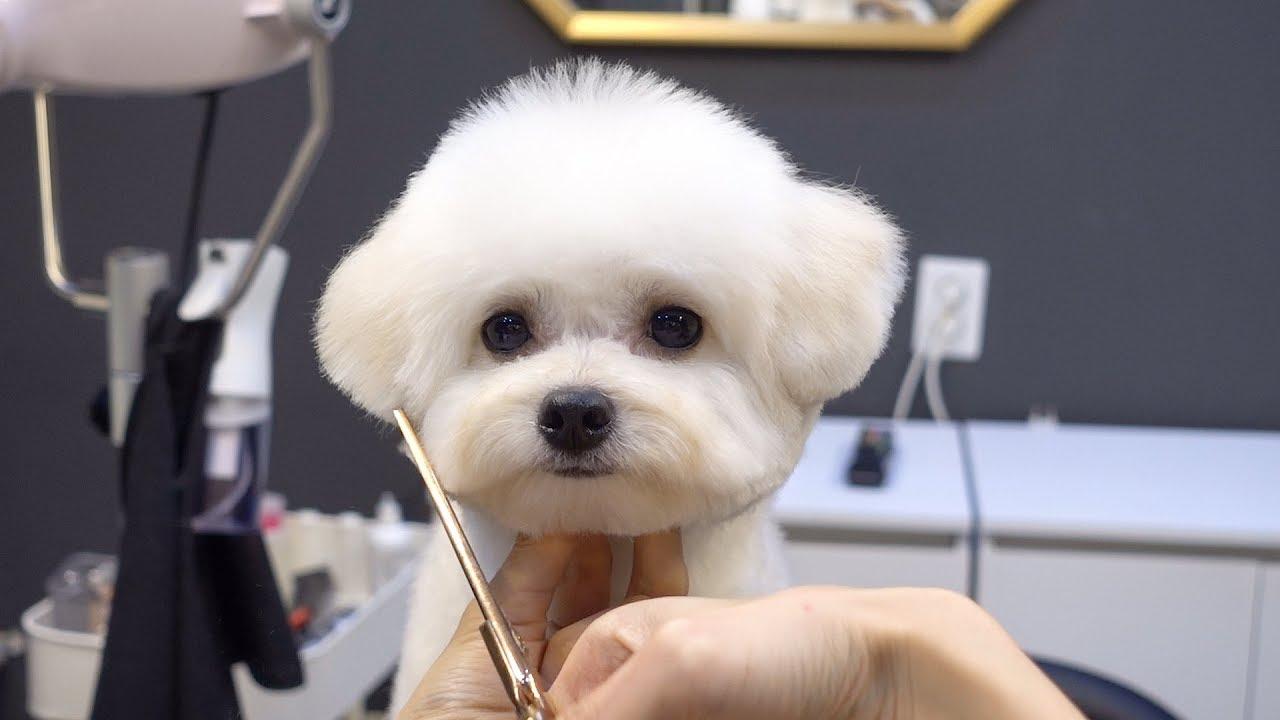 푸숑 배냇 첫미용 귀툭튀 가위컷 / dog pet poodle bichon frise mixed breed first grooming