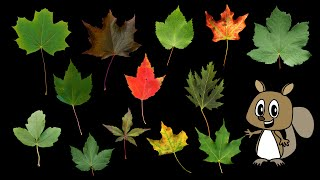 Maple Leaves - Nature / Fall Foliage - The Ki...