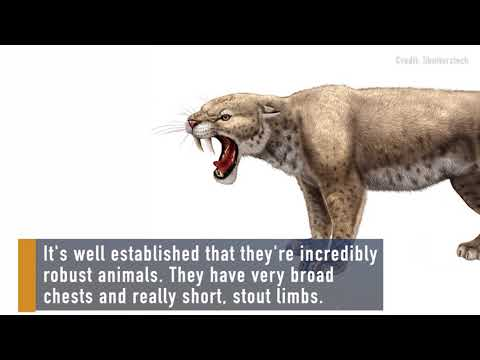 Muscly Kittens: Saber-Toothed Cats Started Out Strong