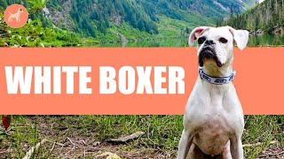 White Boxer Dog Breed: An Ultimate Guide To Charm Dog