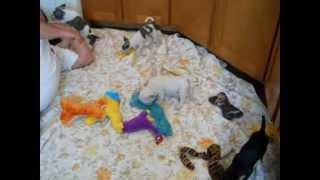 Chihuahuas And Toy French Bulldog