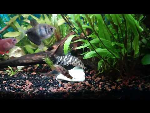 Мраморные боции в моем аквариуме