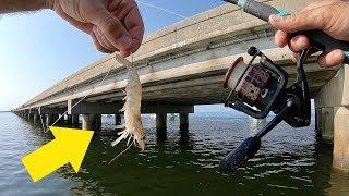 Using Live Shrimp for LOTS of  Random Bridge Fish