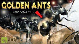 My New Pet Golden Ants