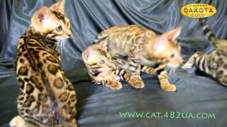 Будни питомника бенгальской кошки Dakota Gold   бенгальские котята неудачная фотосессия