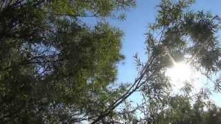 Ива плачет на солнцепеке - почему? Видео высокой четкости.