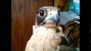 falconry,falco peregrinus (сокол сапсан)