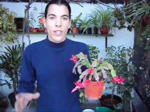 Cultivo de zygocactus cactus de pascua de navidad o for Santa teresita planta