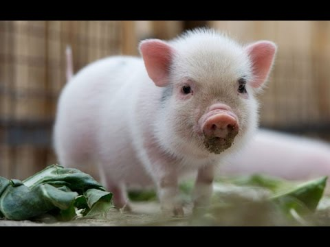 pig cute mini funny micro