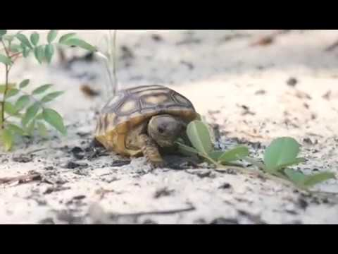April 10th is Gopher Tortoise Day