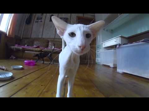 Talking white Oriental cat
