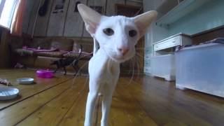 Talking white Oriental cat