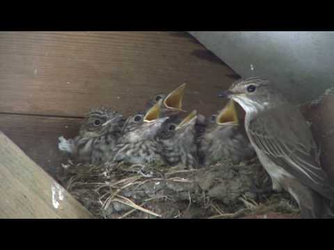 Spotted Flycatcher Family
