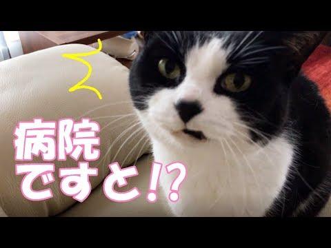 ビビリな猫を病院に連れて行き激おこ!耳かゆ診断は外耳炎でした