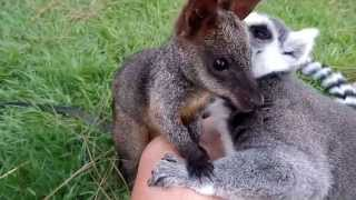 Lemur loves on  baby Wallaby