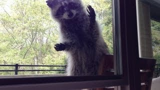 betty raccoon