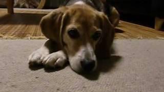 この動画は 「怒られてしょげかえるビーグル犬ぐぅ」http://www.youtube...