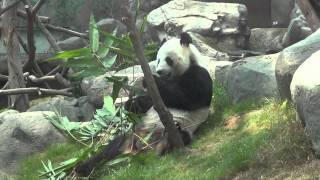 The Giant Pandas (Ocean Park Hong Kong)