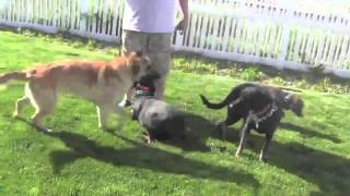 How To Fix Dog Aggression- Curing Dog Aggression Training
