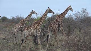 Auf Safari in Südafrika (2/3)  [Reportage / Doku / Dokumentation Deutsch]