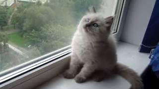 Егорушка 2 месяца, невский маскарадный котёнок.