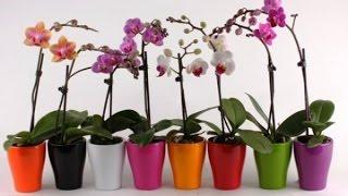 Как ухаживать за орхидеей чтобы она цвела(Как ухаживать за орхидеей чтобы она цвела - мой собственный опыт и наблюдения по уходу за за орхидеей. У..., 2014-07-19T15:33:09.000Z)