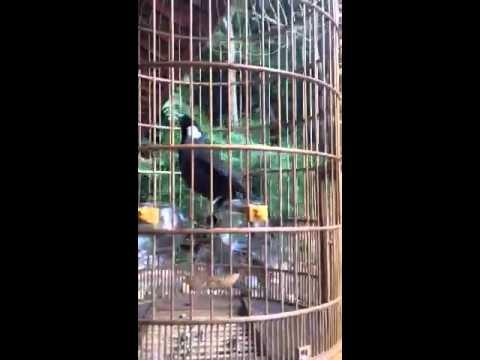 chim khuou hot mua vip-NHS