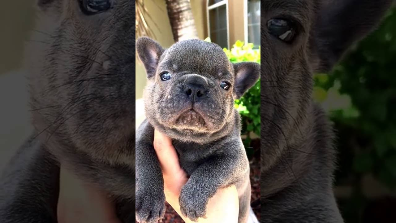Most Inspiring French Bulldog Chubby Adorable Dog - maxresdefault  Graphic_114591  .jpg
