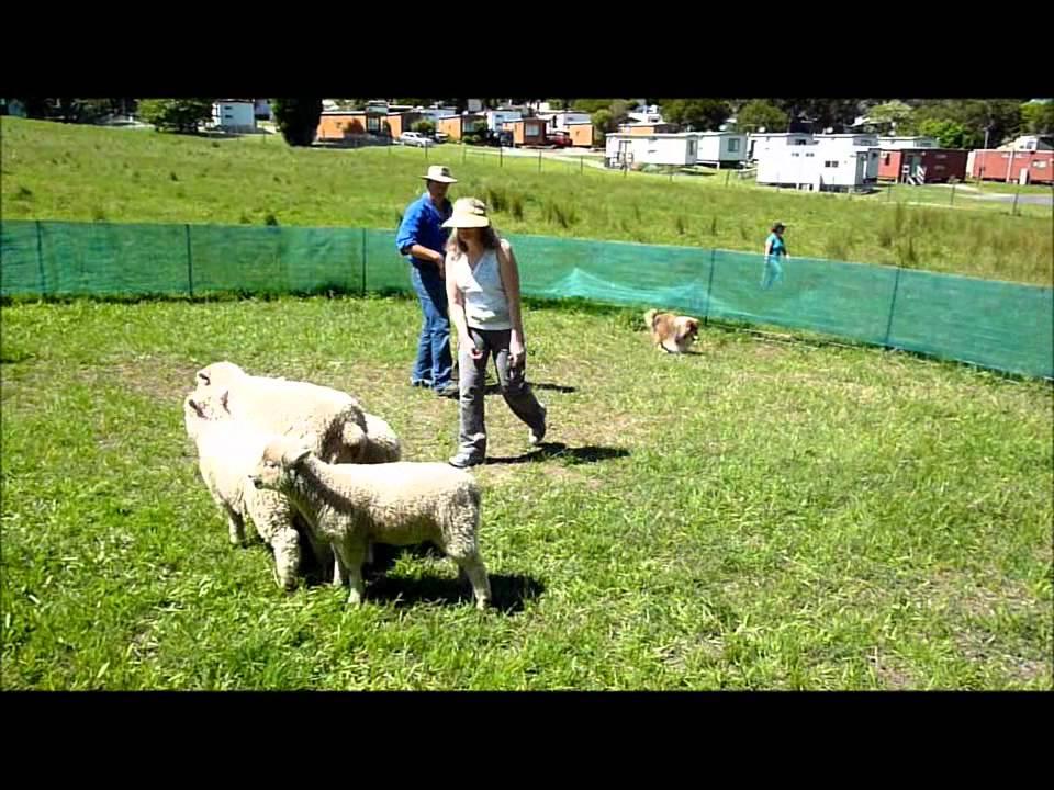 Herding Dog Training Melbourne