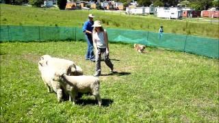 Herding Dog Training Melbourne  12/11/11
