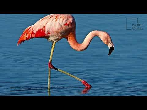 Interesting facts about Chilean Flamingo by weird square