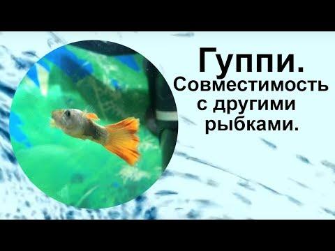 Гуппи. Совместимость с другими рыбками.