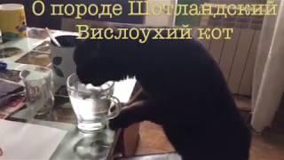 О породе Шотландский Вислоухий кот