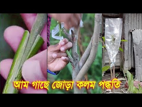 আম গাছে জোড় কলম করার পদ্ধতি | How to mango grafting in Bangla | Vumika Agro News | জোড় কলম