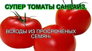 видео Помидоры агата выращивание