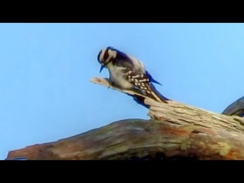 Downy Woodpecker Calling and Drumming