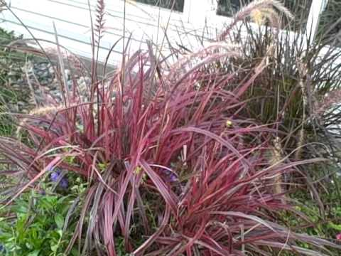 How To Grow Pennisetum Variegated Red Fountain Grass Fireworks