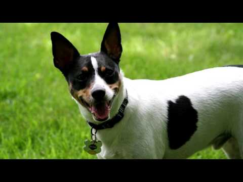Free Sound Effect  Small Dog Barking