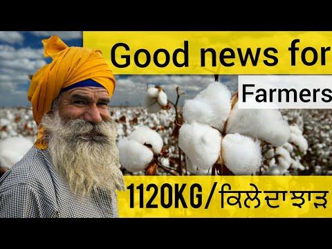 GOOD NEWS FOR COTTON FARMERS(ਨਰਮੇ ਆਲੇ ਕਿਸਾਨਾ ਲਈ)