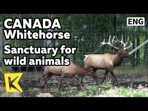 【K】Canada Travel-Whitehorse[캐나다 여행-화이트 호스]유콘 야생 동물 보호 구역/Wild animal/Bus tour/Red fox