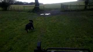 The Best Way To Train A Staffordshire Bull Terrier Using A Quad!